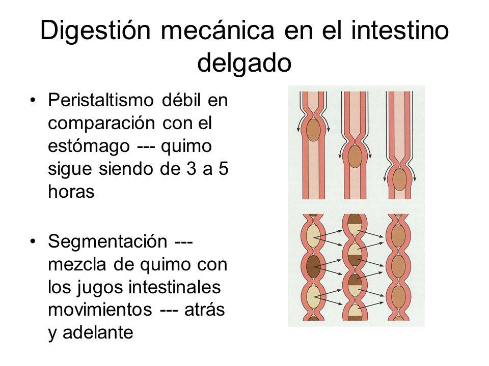 Digestión mecánica en el intestino delgado Peristaltismo débil en comparación con el estómago --- quimo sigue siendo de 3 a 5 horas Segmentación --- mezcla de quimo con los jugos intestinales movimientos --- atrás y adelante