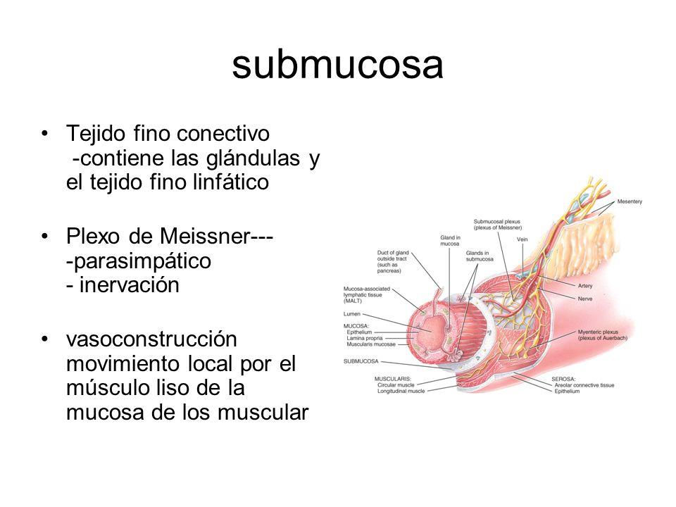 submucosa Tejido fino conectivo -contiene las glándulas y el tejido fino linfático Plexo de Meissner--- -parasimpático - inervación vasoconstrucción movimiento local por el músculo liso de la mucosa de los muscular