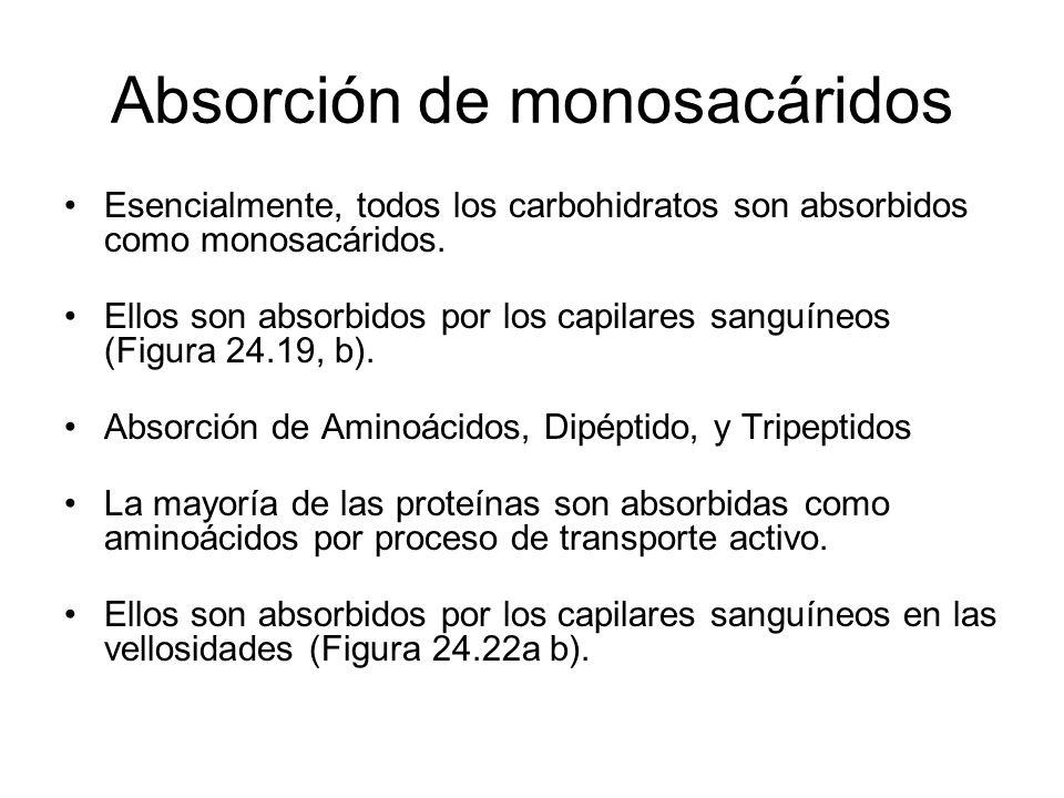 Absorción de monosacáridos Esencialmente, todos los carbohidratos son absorbidos como monosacáridos. Ellos son absorbidos por los capilares sanguíneos