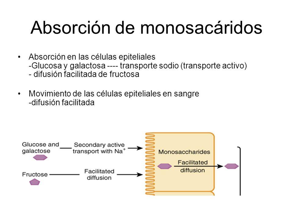 Absorción de monosacáridos Absorción en las células epiteliales -Glucosa y galactosa ---- transporte sodio (transporte activo) - difusión facilitada de fructosa Movimiento de las células epiteliales en sangre -difusión facilitada