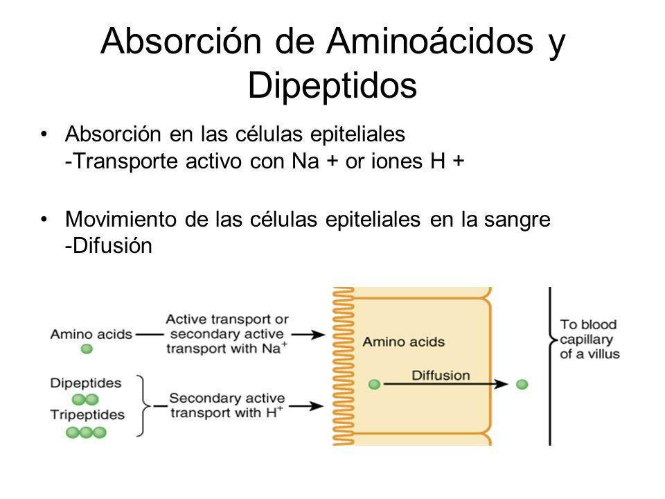 Absorción de Aminoácidos y Dipeptidos Absorción en las células epiteliales -Transporte activo con Na + or iones H + Movimiento de las células epiteliales en la sangre -Difusión