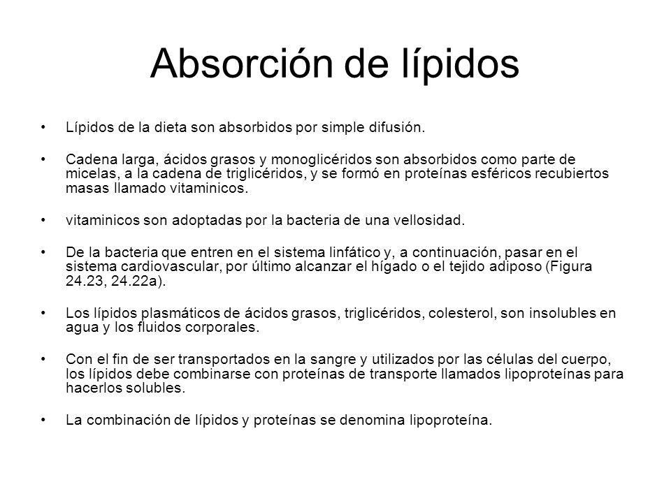 Absorción de lípidos Lípidos de la dieta son absorbidos por simple difusión. Cadena larga, ácidos grasos y monoglicéridos son absorbidos como parte de