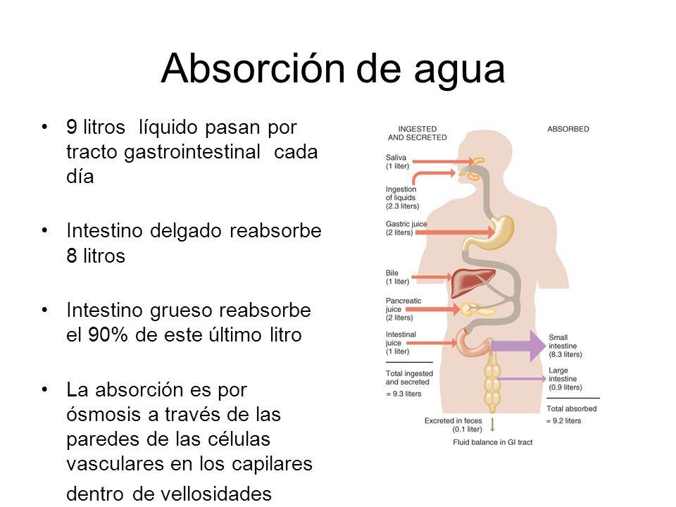 Absorción de agua 9 litros líquido pasan por tracto gastrointestinal cada día Intestino delgado reabsorbe 8 litros Intestino grueso reabsorbe el 90% de este último litro La absorción es por ósmosis a través de las paredes de las células vasculares en los capilares dentro de vellosidades