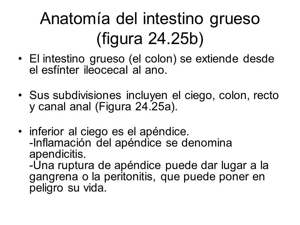 Anatomía del intestino grueso (figura 24.25b) El intestino grueso (el colon) se extiende desde el esfínter ileocecal al ano. Sus subdivisiones incluye