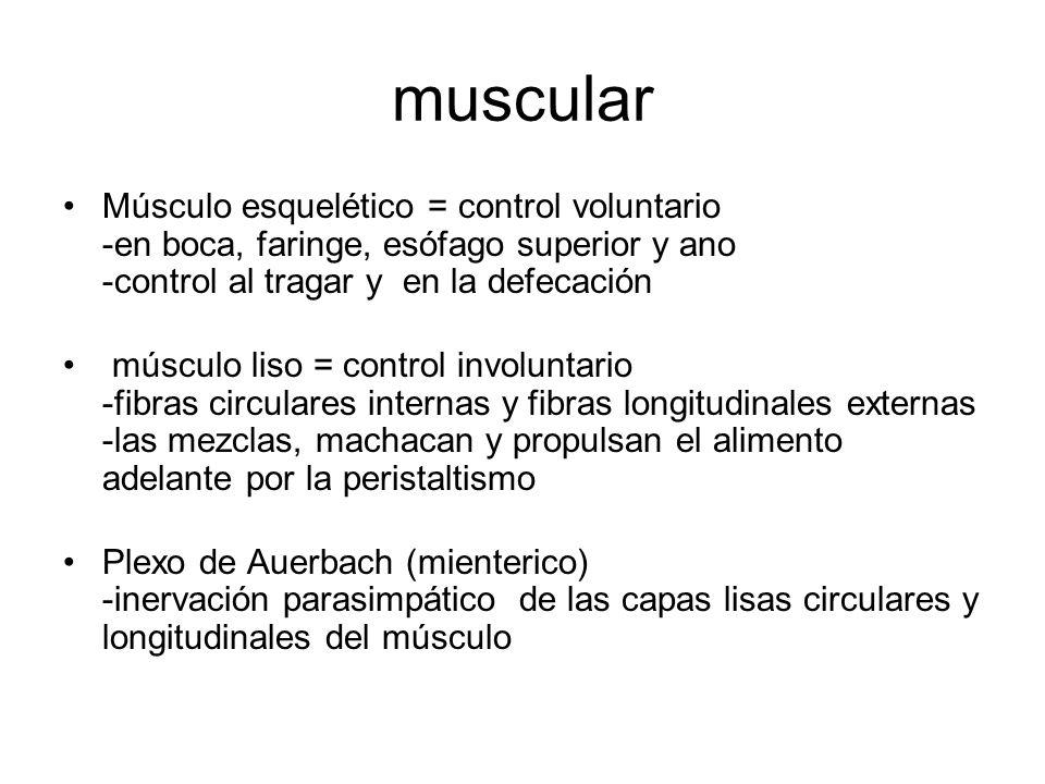muscular Músculo esquelético = control voluntario -en boca, faringe, esófago superior y ano -control al tragar y en la defecación músculo liso = control involuntario -fibras circulares internas y fibras longitudinales externas -las mezclas, machacan y propulsan el alimento adelante por la peristaltismo Plexo de Auerbach (mienterico) -inervación parasimpático de las capas lisas circulares y longitudinales del músculo