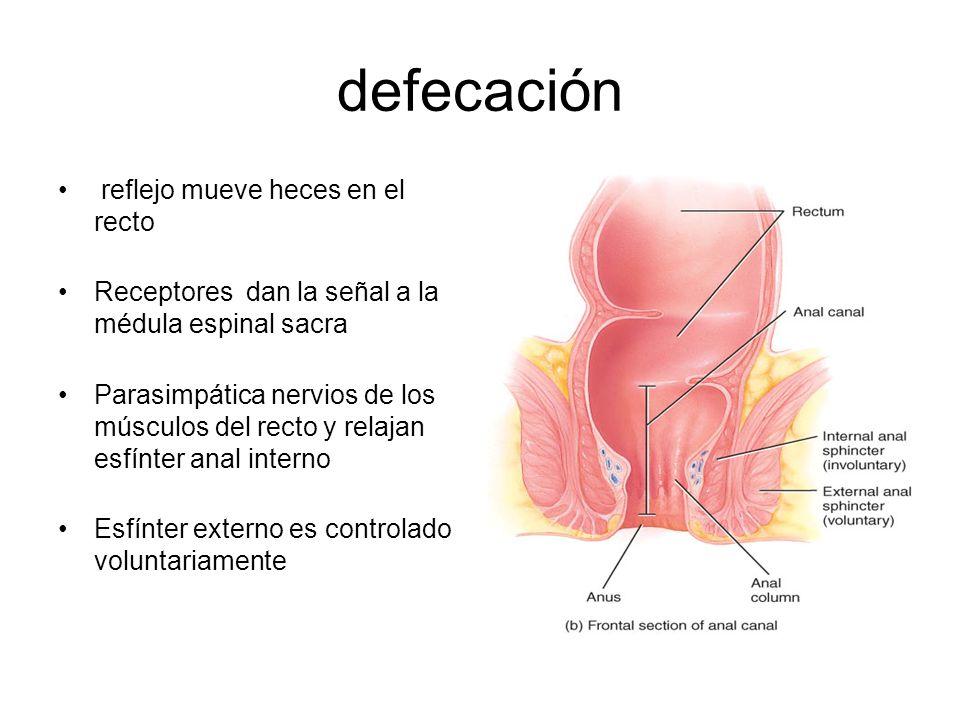 defecación reflejo mueve heces en el recto Receptores dan la señal a la médula espinal sacra Parasimpática nervios de los músculos del recto y relajan esfínter anal interno Esfínter externo es controlado voluntariamente
