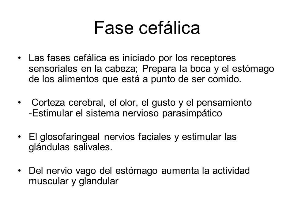 Fase cefálica Las fases cefálica es iniciado por los receptores sensoriales en la cabeza; Prepara la boca y el estómago de los alimentos que está a pu