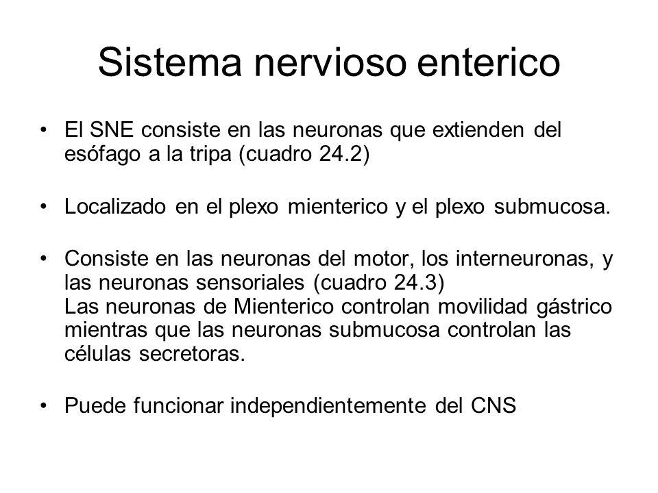 Sistema nervioso enterico El SNE consiste en las neuronas que extienden del esófago a la tripa (cuadro 24.2) Localizado en el plexo mienterico y el plexo submucosa.