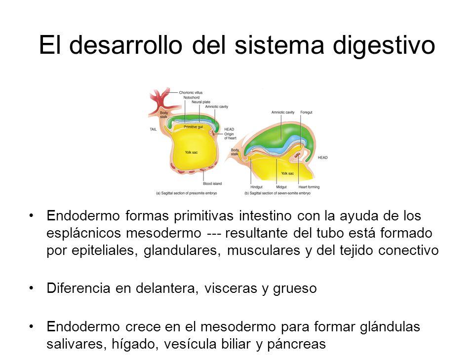 El desarrollo del sistema digestivo Endodermo formas primitivas intestino con la ayuda de los esplácnicos mesodermo --- resultante del tubo está formado por epiteliales, glandulares, musculares y del tejido conectivo Diferencia en delantera, visceras y grueso Endodermo crece en el mesodermo para formar glándulas salivares, hígado, vesícula biliar y páncreas