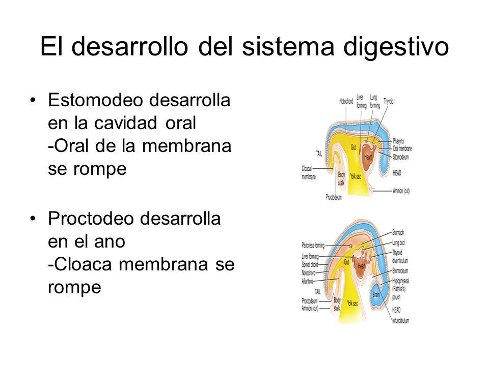 El desarrollo del sistema digestivo Estomodeo desarrolla en la cavidad oral -Oral de la membrana se rompe Proctodeo desarrolla en el ano -Cloaca membrana se rompe