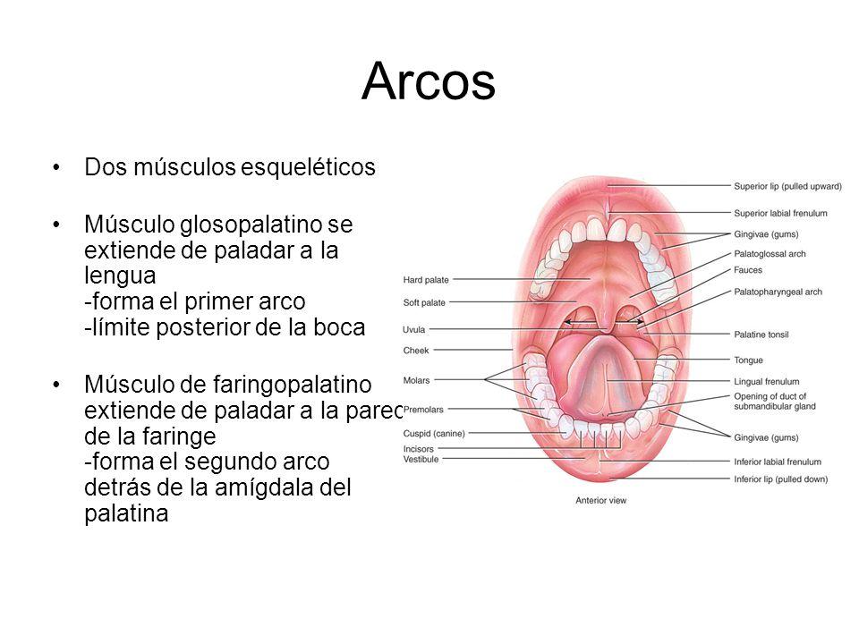 Arcos Dos músculos esqueléticos Músculo glosopalatino se extiende de paladar a la lengua -forma el primer arco -límite posterior de la boca Músculo de faringopalatino extiende de paladar a la pared de la faringe -forma el segundo arco detrás de la amígdala del palatina
