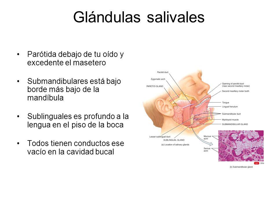 Glándulas salivales Parótida debajo de tu oído y excedente el masetero Submandibulares está bajo borde más bajo de la mandíbula Sublinguales es profun