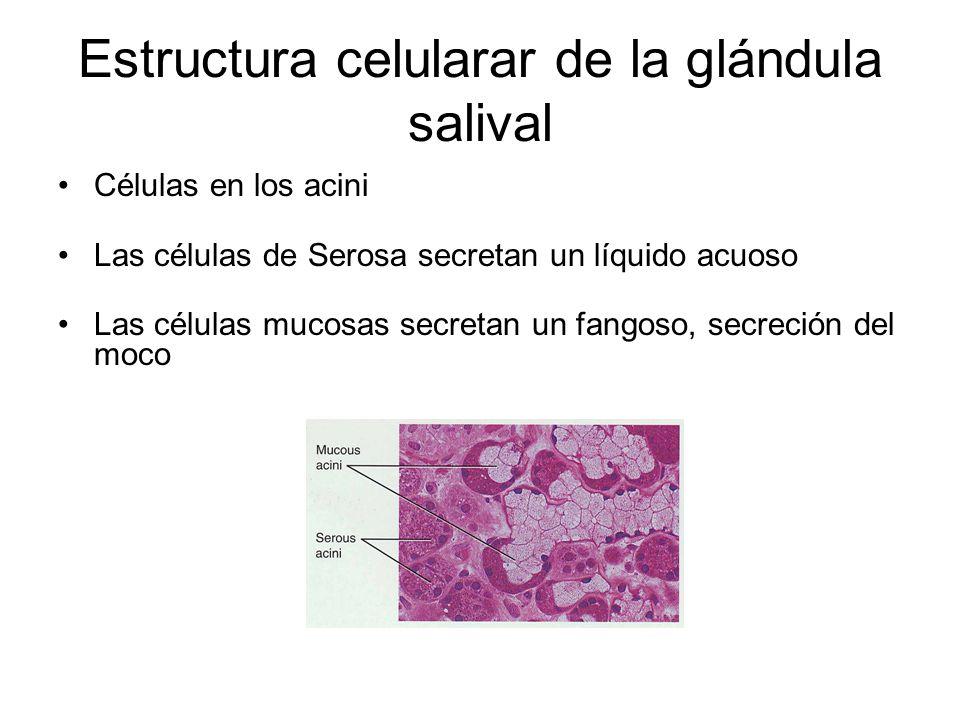 Estructura celularar de la glándula salival Células en los acini Las células de Serosa secretan un líquido acuoso Las células mucosas secretan un fang