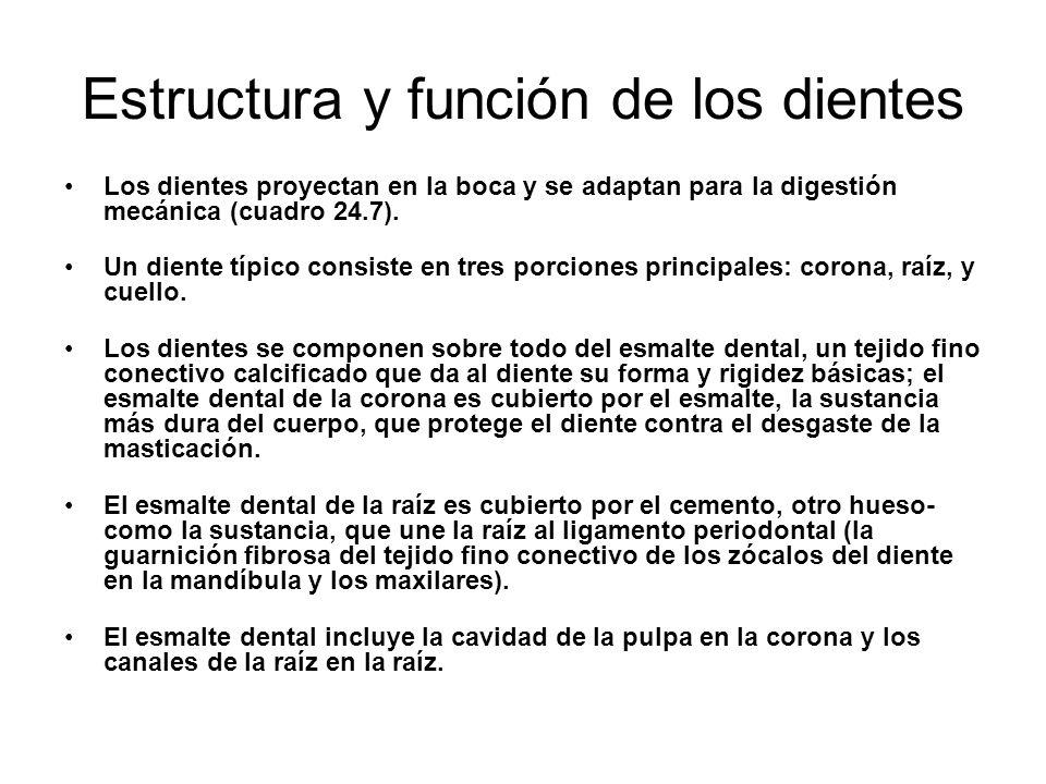 Estructura y función de los dientes Los dientes proyectan en la boca y se adaptan para la digestión mecánica (cuadro 24.7). Un diente típico consiste