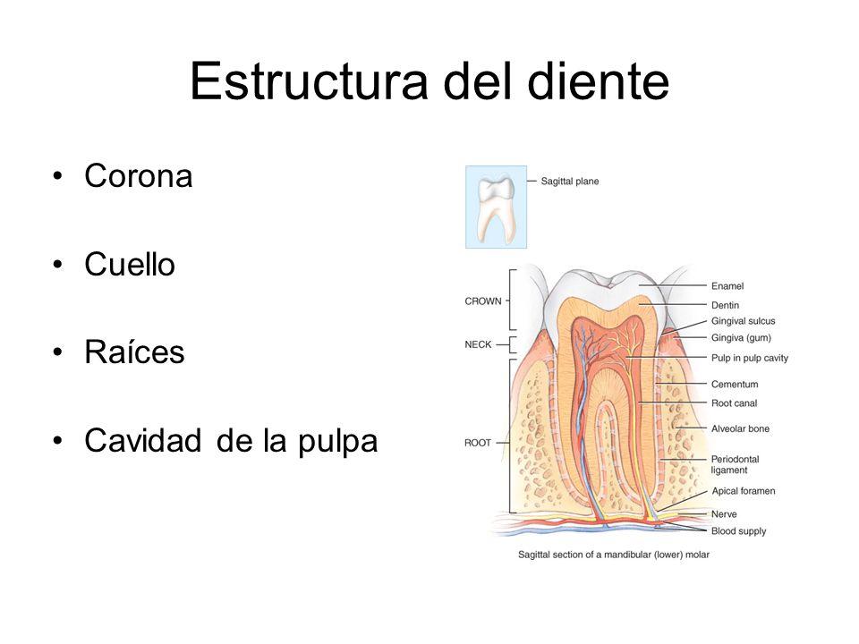 Estructura del diente Corona Cuello Raíces Cavidad de la pulpa