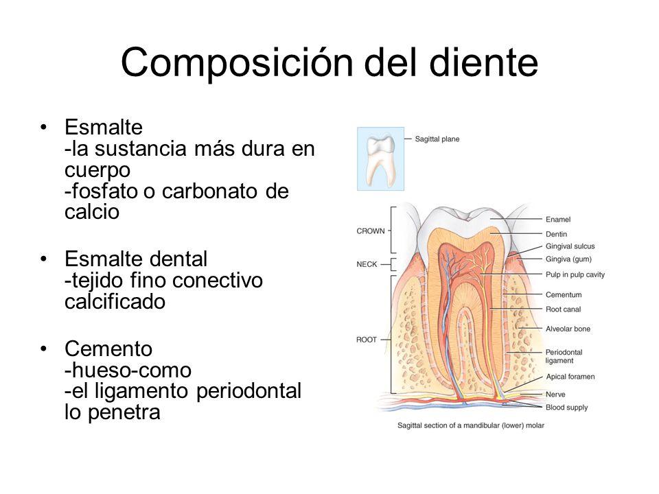 Composición del diente Esmalte -la sustancia más dura en cuerpo -fosfato o carbonato de calcio Esmalte dental -tejido fino conectivo calcificado Cemento -hueso-como -el ligamento periodontal lo penetra