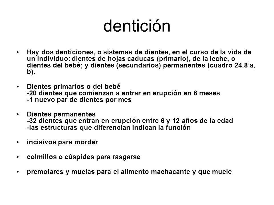 dentición Hay dos denticiones, o sistemas de dientes, en el curso de la vida de un individuo: dientes de hojas caducas (primario), de la leche, o dientes del bebé; y dientes (secundarios) permanentes (cuadro 24.8 a, b).