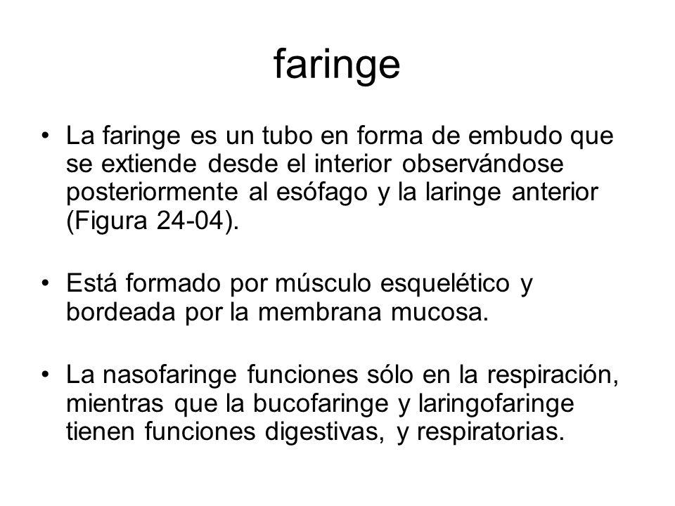 faringe La faringe es un tubo en forma de embudo que se extiende desde el interior observándose posteriormente al esófago y la laringe anterior (Figura 24-04).