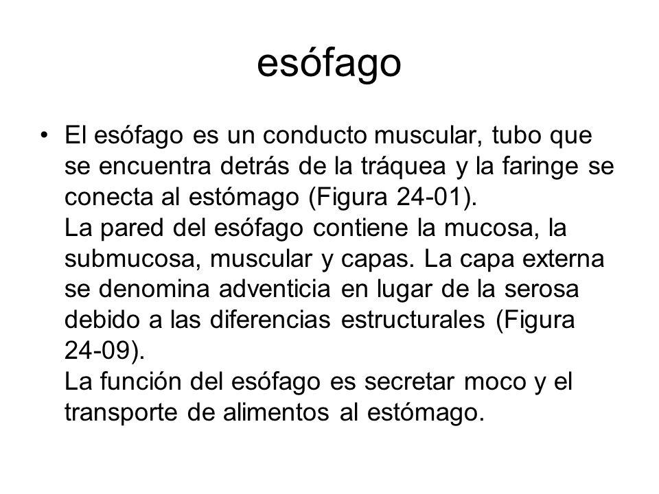 esófago El esófago es un conducto muscular, tubo que se encuentra detrás de la tráquea y la faringe se conecta al estómago (Figura 24-01). La pared de