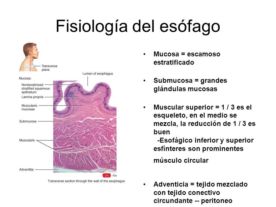Fisiología del esófago Mucosa = escamoso estratificado Submucosa = grandes glándulas mucosas Muscular superior = 1 / 3 es el esqueleto, en el medio se mezcla, la reducción de 1 / 3 es buen -Esofágico inferior y superior esfínteres son prominentes músculo circular Adventicia = tejido mezclado con tejido conectivo circundante -- peritoneo