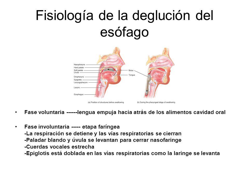 Fisiología de la deglución del esófago Fase voluntaria ------lengua empuja hacia atrás de los alimentos cavidad oral Fase involuntaria ----- etapa faríngea -La respiración se detiene y las vías respiratorias se cierran -Paladar blando y úvula se levantan para cerrar nasofaringe -Cuerdas vocales estrecha -Epiglotis está doblada en las vías respiratorias como la laringe se levanta