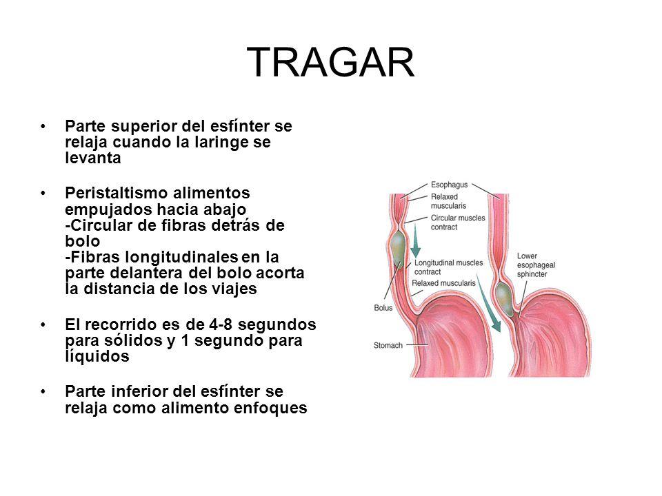 TRAGAR Parte superior del esfínter se relaja cuando la laringe se levanta Peristaltismo alimentos empujados hacia abajo -Circular de fibras detrás de