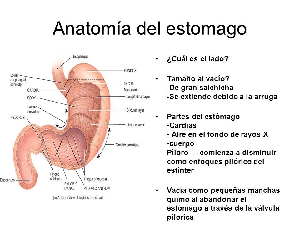 Anatomía del estomago ¿Cuál es el lado? Tamaño al vacío? -De gran salchicha -Se extiende debido a la arruga Partes del estómago -Cardias - Aire en el