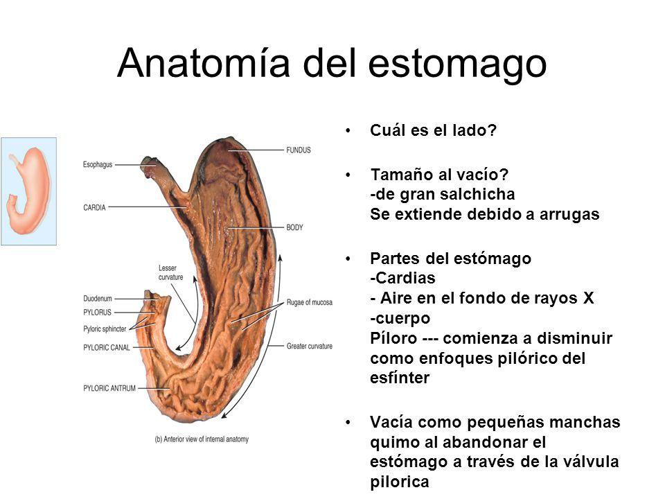 Anatomía del estomago Cuál es el lado? Tamaño al vacío? -de gran salchicha Se extiende debido a arrugas Partes del estómago -Cardias - Aire en el fond