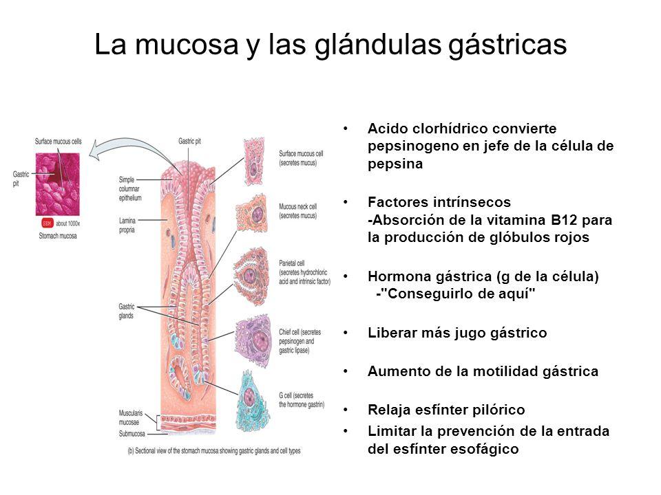 La mucosa y las glándulas gástricas Acido clorhídrico convierte pepsinogeno en jefe de la célula de pepsina Factores intrínsecos -Absorción de la vitamina B12 para la producción de glóbulos rojos Hormona gástrica (g de la célula) - Conseguirlo de aquí Liberar más jugo gástrico Aumento de la motilidad gástrica Relaja esfínter pilórico Limitar la prevención de la entrada del esfínter esofágico