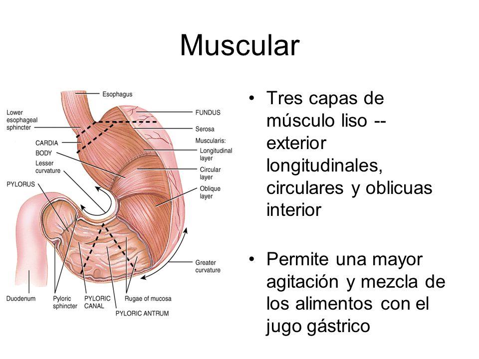 Muscular Tres capas de músculo liso -- exterior longitudinales, circulares y oblicuas interior Permite una mayor agitación y mezcla de los alimentos con el jugo gástrico