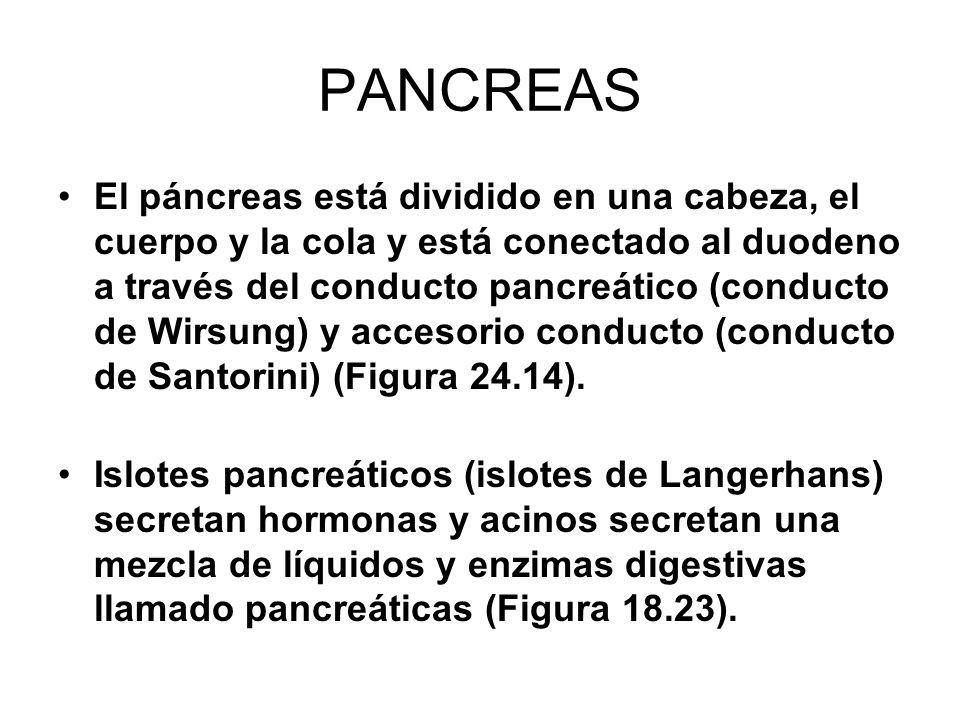 PANCREAS El páncreas está dividido en una cabeza, el cuerpo y la cola y está conectado al duodeno a través del conducto pancreático (conducto de Wirsung) y accesorio conducto (conducto de Santorini) (Figura 24.14).