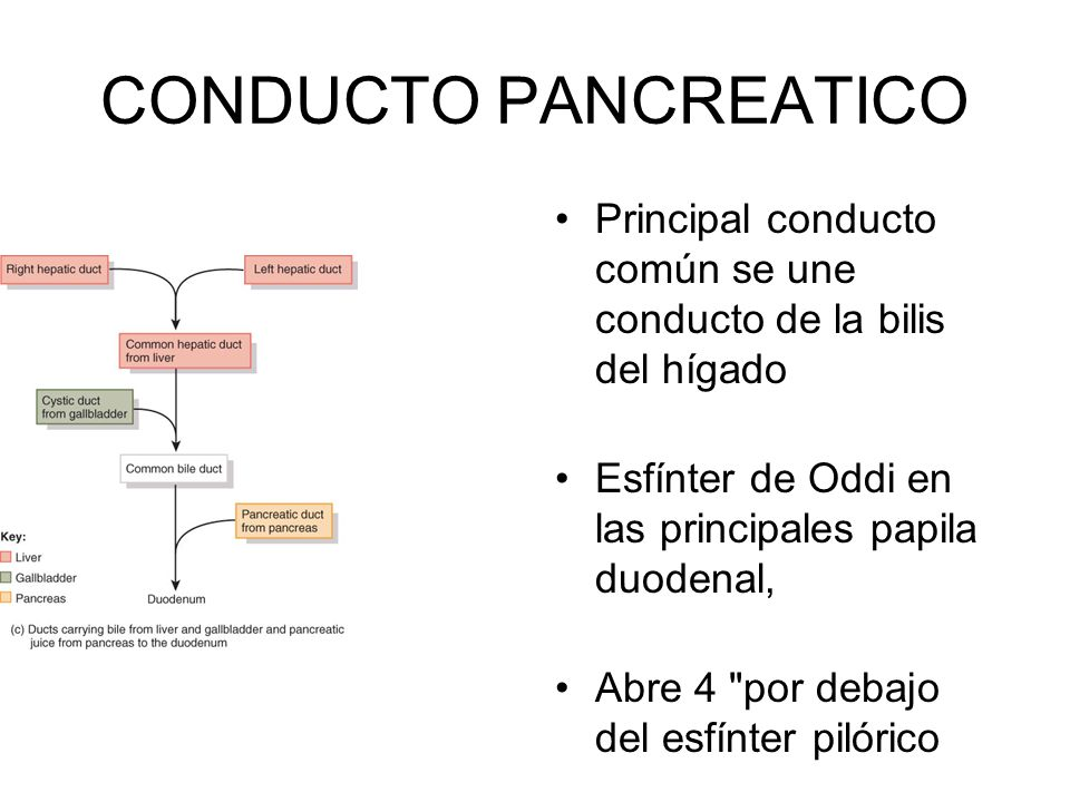 CONDUCTO PANCREATICO Principal conducto común se une conducto de la bilis del hígado Esfínter de Oddi en las principales papila duodenal, Abre 4 por debajo del esfínter pilórico