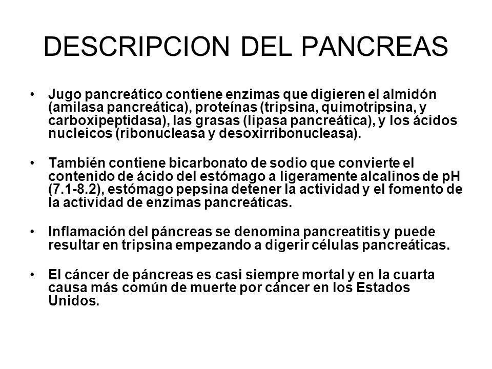 DESCRIPCION DEL PANCREAS Jugo pancreático contiene enzimas que digieren el almidón (amilasa pancreática), proteínas (tripsina, quimotripsina, y carboxipeptidasa), las grasas (lipasa pancreática), y los ácidos nucleicos (ribonucleasa y desoxirribonucleasa).