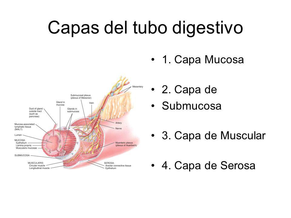 Capas del tubo digestivo 1. Capa Mucosa 2. Capa de Submucosa 3. Capa de Muscular 4. Capa de Serosa