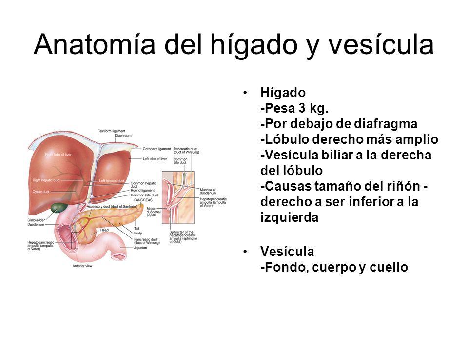 Anatomía del hígado y vesícula Hígado -Pesa 3 kg. -Por debajo de diafragma -Lóbulo derecho más amplio -Vesícula biliar a la derecha del lóbulo -Causas
