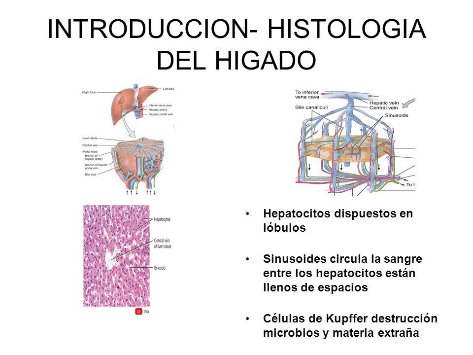 INTRODUCCION- HISTOLOGIA DEL HIGADO Hepatocitos dispuestos en lóbulos Sinusoides circula la sangre entre los hepatocitos están llenos de espacios Célu