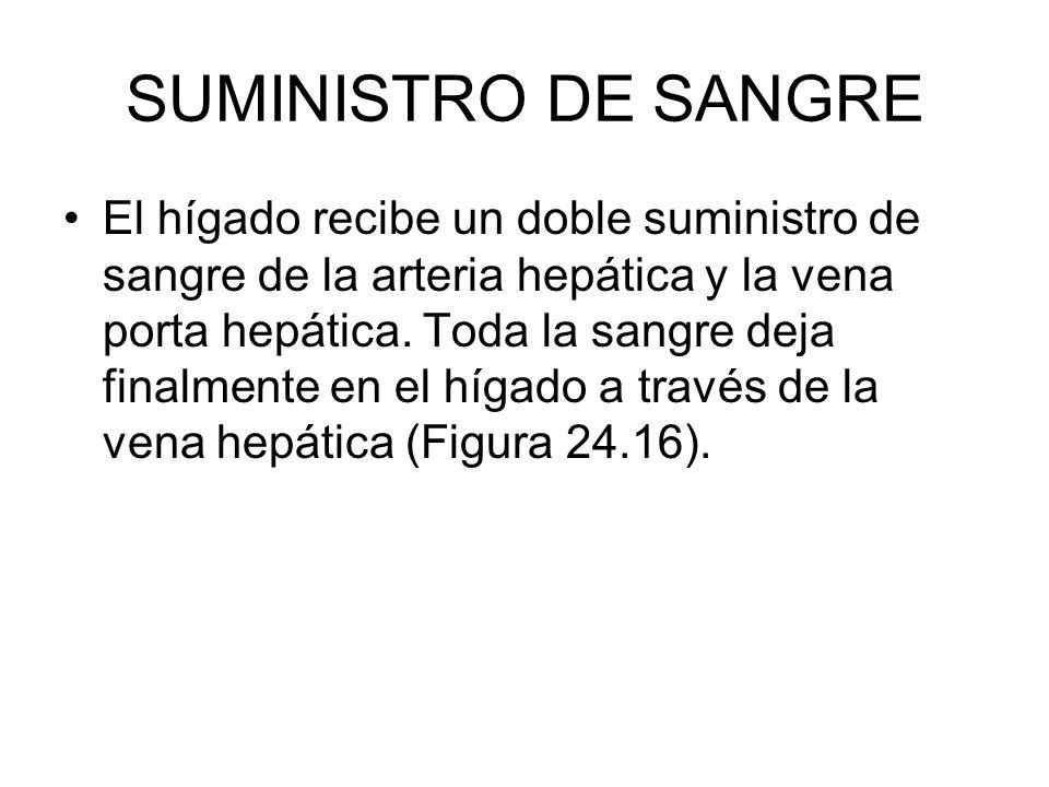 SUMINISTRO DE SANGRE El hígado recibe un doble suministro de sangre de la arteria hepática y la vena porta hepática.