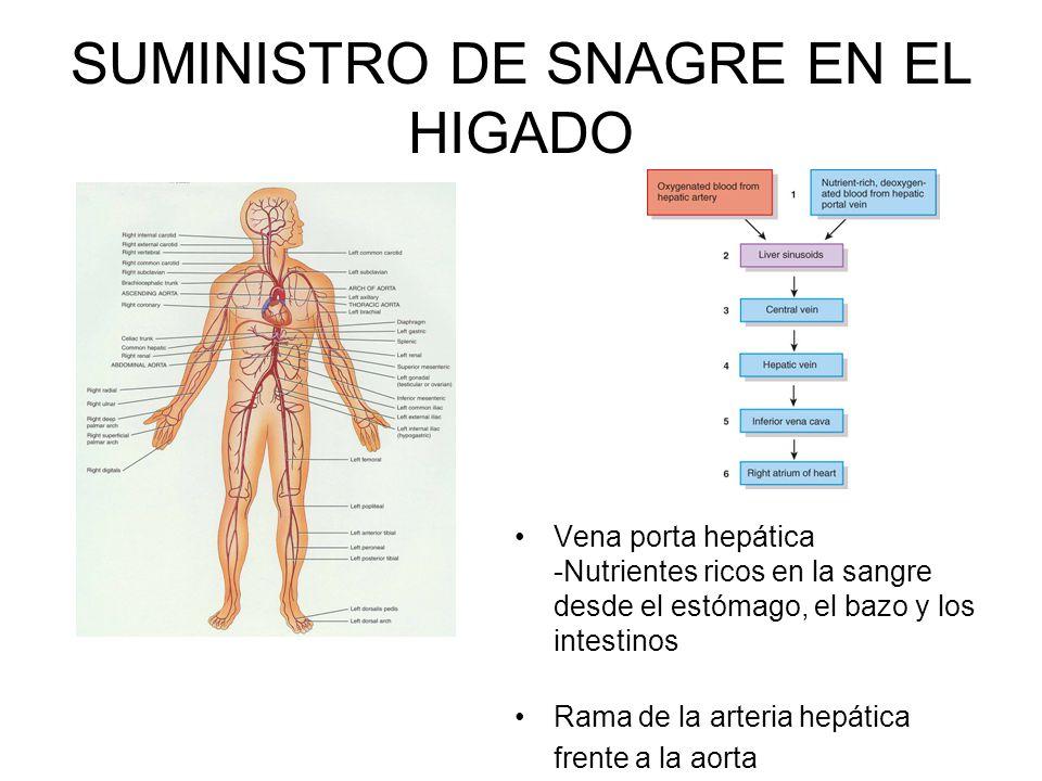 SUMINISTRO DE SNAGRE EN EL HIGADO Vena porta hepática -Nutrientes ricos en la sangre desde el estómago, el bazo y los intestinos Rama de la arteria hepática frente a la aorta