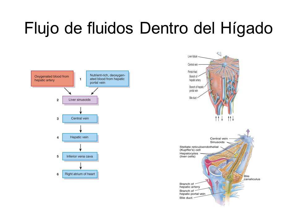 Flujo de fluidos Dentro del Hígado