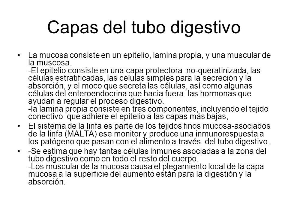 mucosa Epitelio - escamoso estratificado (en boca, esófago y ano) = dura - columna simple en el resto secreta las enzimas y absorbe nutrientes las células especializadas, secretan muco sobre superficies de la célula células del enteroendocrina---secretar las hormonas que controlan la función del órgano Lamina propia -capa delgada del tejido fino conectivo aerolar -contiene tejido fino linfático Mucosas de Muscular---capa delgada del músculo liso - numerosos pliegues para formar la capa mucosa -aumenta los movimientos locales que aumentan la absorción con -- la exposición a los alimentos nuevos