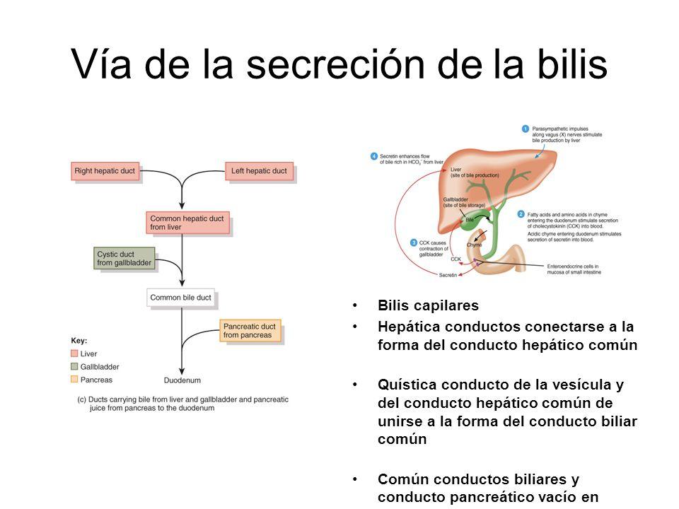 Vía de la secreción de la bilis Bilis capilares Hepática conductos conectarse a la forma del conducto hepático común Quística conducto de la vesícula y del conducto hepático común de unirse a la forma del conducto biliar común Común conductos biliares y conducto pancreático vacío en duodeno