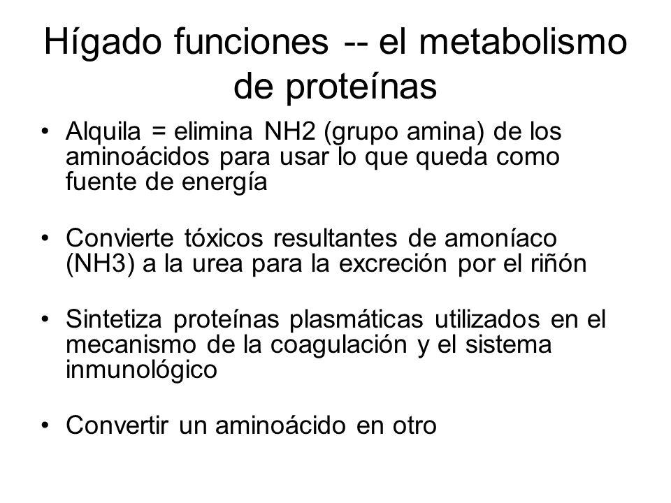 Hígado funciones -- el metabolismo de proteínas Alquila = elimina NH2 (grupo amina) de los aminoácidos para usar lo que queda como fuente de energía Convierte tóxicos resultantes de amoníaco (NH3) a la urea para la excreción por el riñón Sintetiza proteínas plasmáticas utilizados en el mecanismo de la coagulación y el sistema inmunológico Convertir un aminoácido en otro