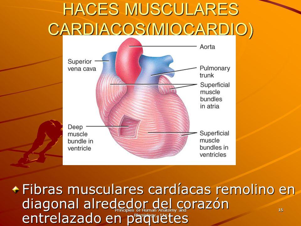 Principles of Human Anatomy and Physiology, 11e 15 HACES MUSCULARES CARDIACOS(MIOCARDIO) Fibras musculares cardíacas remolino en diagonal alrededor de