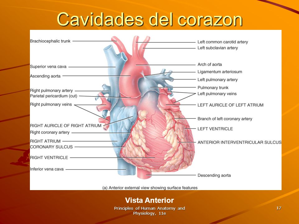 Principles of Human Anatomy and Physiology, 11e 17 Cavidades del corazon Vista Anterior