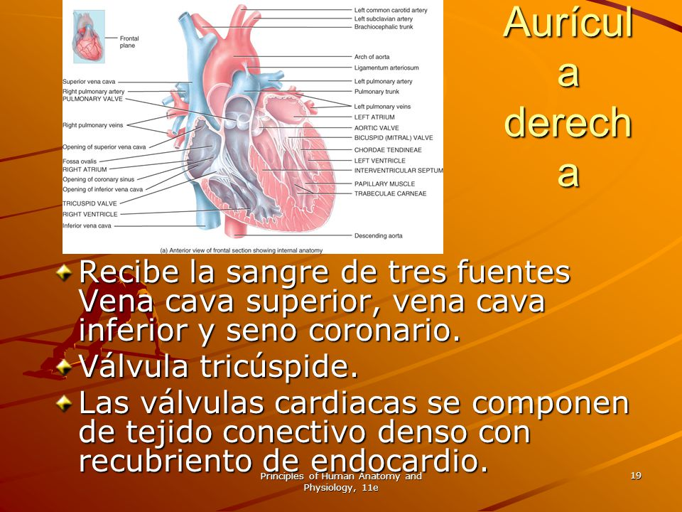 Principles of Human Anatomy and Physiology, 11e 19 Aurícul a derech a Recibe la sangre de tres fuentes Vena cava superior, vena cava inferior y seno c