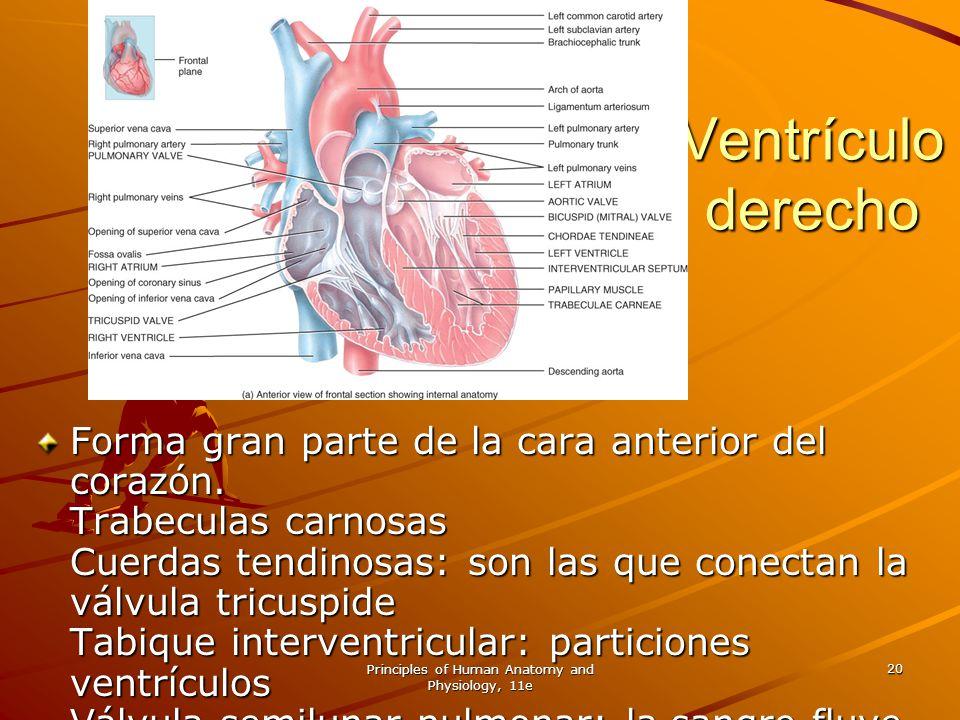Principles of Human Anatomy and Physiology, 11e 20 Ventrículo derecho Forma gran parte de la cara anterior del corazón. Trabeculas carnosas Cuerdas te
