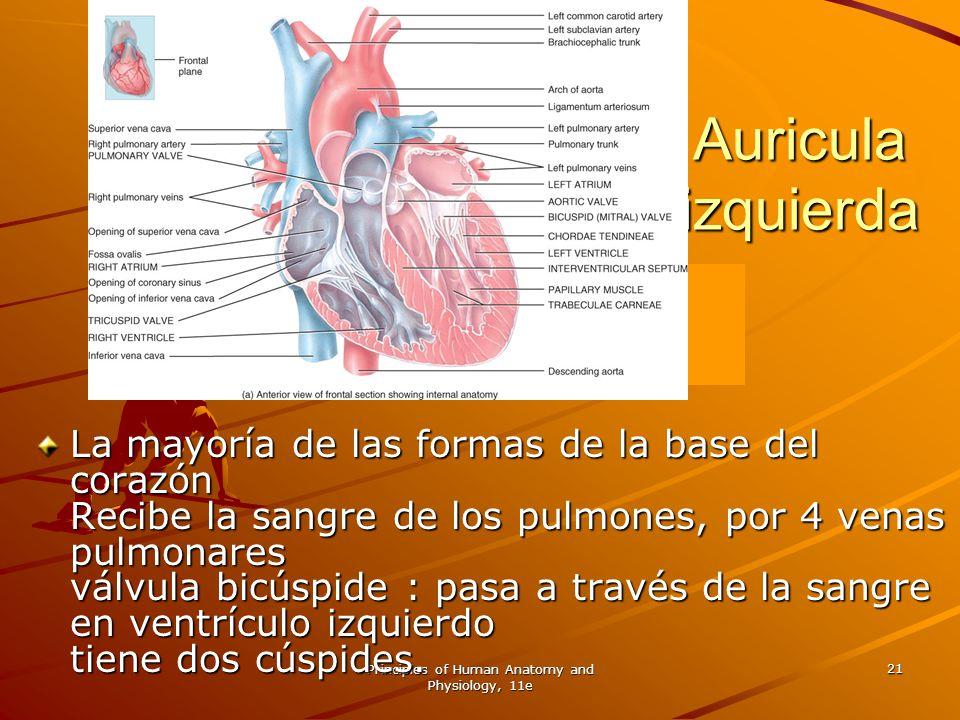 Principles of Human Anatomy and Physiology, 11e 21 Auricula izquierda La mayoría de las formas de la base del corazón Recibe la sangre de los pulmones