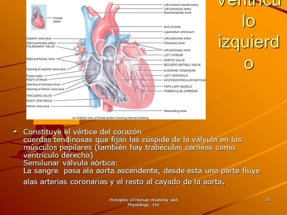 Principles of Human Anatomy and Physiology, 11e 22 Ventrícu lo izquierd o Ventrícu lo izquierd o Constituye el vértice del corazón cuerdas tendinosas