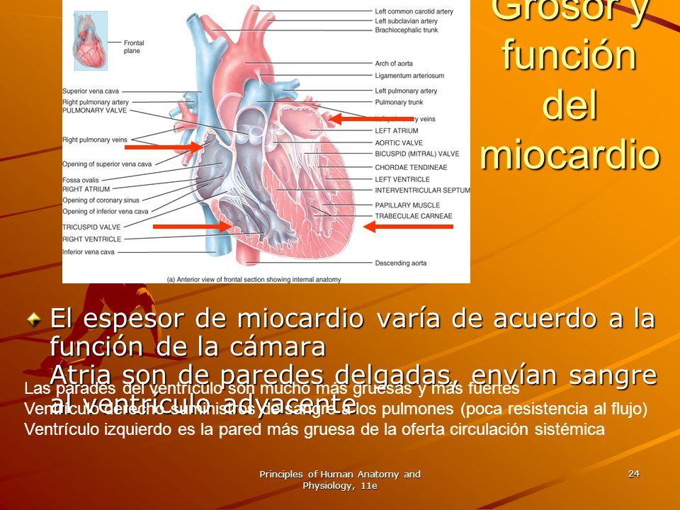 Principles of Human Anatomy and Physiology, 11e 24 Grosor y función del miocardio El espesor de miocardio varía de acuerdo a la función de la cámara A