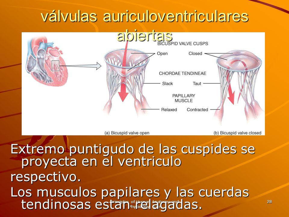 Principles of Human Anatomy and Physiology, 11e 28 Extremo puntigudo de las cuspides se proyecta en el ventriculo respectivo. Los musculos papilares y